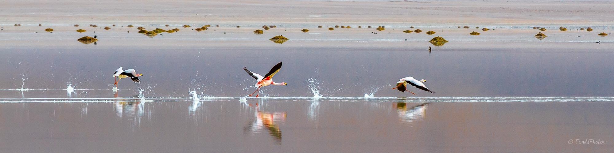 James Flamingos, Laguna Blanca, Bolivia