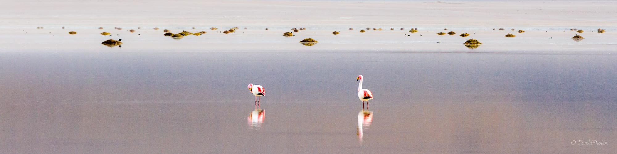 James Flamingos, Laguna Blanca, Bolivia