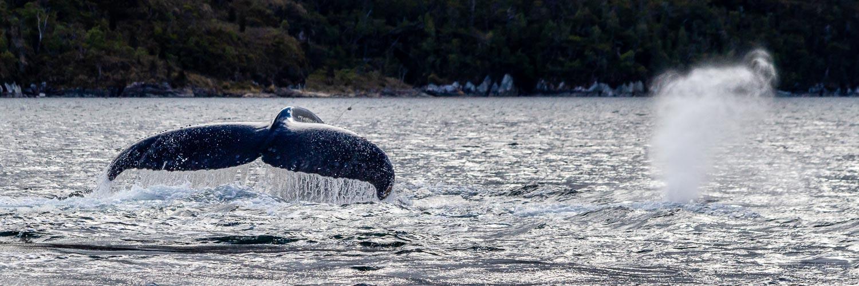 Humpback whale, Strait of Magellan